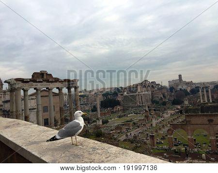Seagull watch the Forum Romanum in Rome
