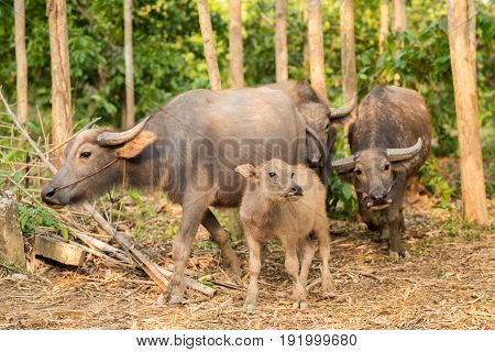 selsective focus at small buffalo walk with big buffalos group in forest farm.domesticated animals in farm