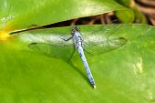 An Eastern Pondhawk (Erythemis simplicicollis) resting on a lily pad in central Florida. poster