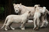 Female white lion with two newborn lion cubs. The white lions are a colour mutation of the Transvaal lion (Panthera leo krugeri), also known as the Southeast African or Kalahari lion. poster