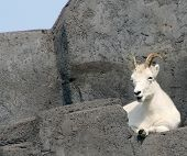 a dall's sheep on a rock poster