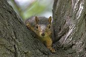 a curious squirrel in a tree watching to see who is watching him ** Note: Shallow depth of field poster