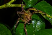 Venomous wandering spider Phoneutria fera sitting on a heliconia leaf in the amazon rainforest in the Cuyabeno National Park, Ecuador. poster