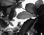 BLACK AND WHITE PHOTO OF RAINDROPS ON LEAVES UNDER SUNLIGHT poster