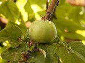 Unripe green apple, raw apricot, very sour raw apple pictures, a handful of apricots, apple tree green raw apple fruit poster