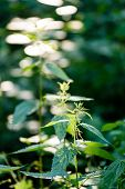 The Twigs Of Wild Plant Nettle Or Stinging Nettle Or Urtica Dioica In Summer Spring Meadow Field poster