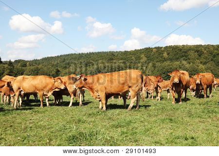 Herd Of Limousin Beef Cattle