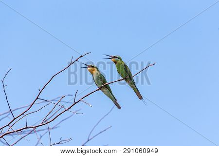 Two Blue-cheeked Bee-eater (merops Persicus). A Bird Is Sitting On A Branch Of A Tree, On A Backgrou
