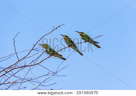 Three Blue-cheeked Bee-eater (merops Persicus). A Bird Is Sitting On A Branch Of A Tree, On A Backgr