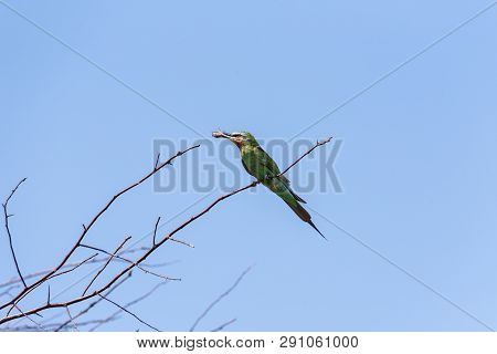 The Blue-cheeked Bee-eater (merops Persicus). A Bird Is Sitting On A Branch Of A Tree And Holds A Dr