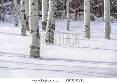Quaking Aspens On Snowy Ground In Park City Utah