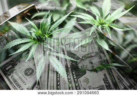 Marijuana Profits Close Up High Quality Stock Photo