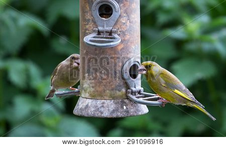 Greenfinches (carduelis Chloris) Feed From A Bird Feeder At The Wood Lane Nature Reserve In Shropshi