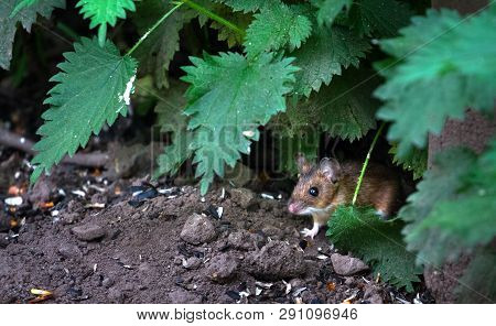An Adult Wood Mouse (apodemus Sylvaticus) Peers Out Of The Vegetation To Look For Food At The Wood L