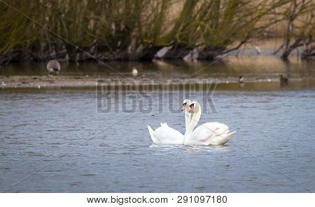 A Pair Of Mute Swans (cygnus Olor) Swims Together On Venus Pool In Shropshire, England.
