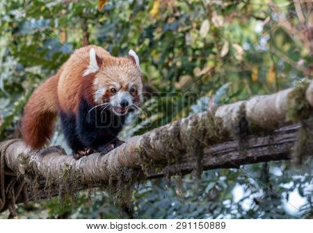 The Red Panda (ailurus Fulgens) Is A Mammal Native To The Eastern Himalayas And Southwestern China.