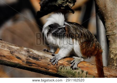 Full Body Of Cotton-top Tamarin A Small New World Monkey. Photography Of Nature And Wildlife.
