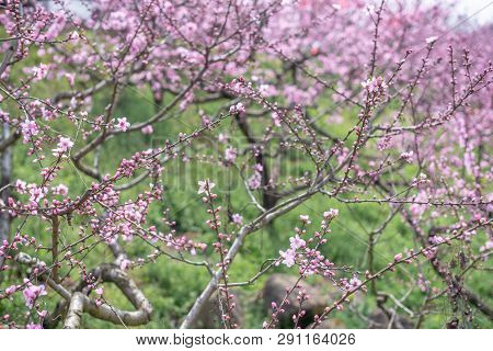 Peach Blossom Tree Field In Spring In Longquanyi Mountains, Chengdu, China