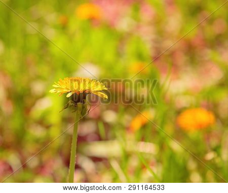 Dandelion Growing On A Clearing In A Sunny Spring Day. Blossoming Dandelion On A Blurred Multicolore