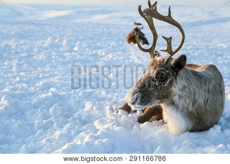 Herd Of Reindeer In Winter Weather, Pasture Reindeer