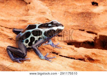White poison dart frog, Dendrobates tinctorius oyapok, French Guyana. Macro of a poisonous Amazon rain forest animal. poster