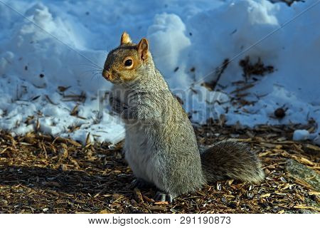 Eastern gray squirrel or Sciurus carolinensis in late day sun on a cold winters day holding a sunflower kernel. It is a tree squirrel and prodigious and ecologically essential forest regenerator. poster