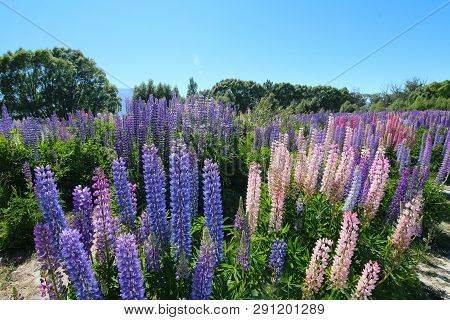 Colorful Flowers. Floral Landscape Of New Zealand: Flowering Of Lupinus Polyphyllus Along The Hakata