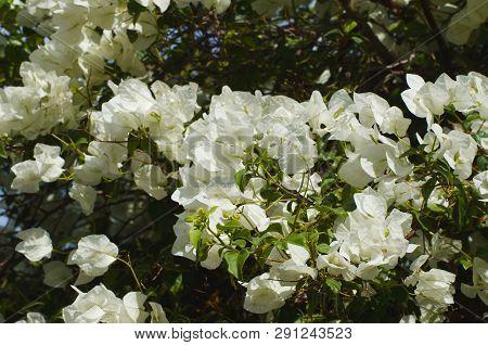 White bougainvillea Bougainvillea glabra. Beautiful floral background poster