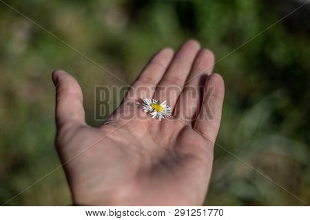 Beautiful Daisy One Flowers In Hand. Spring