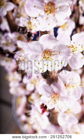 Apricot Flowers In Close Up