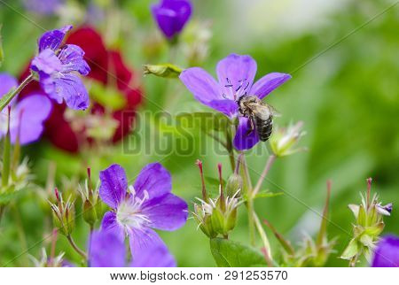 closeup austrian Honey bee on lila flowers poster
