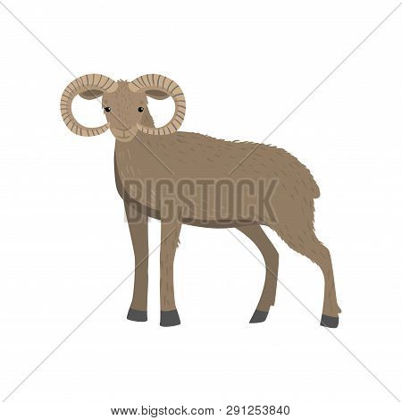 Light Brown Horned Ram Or Mountain Sheep Standing At White Background Looking At Viewer