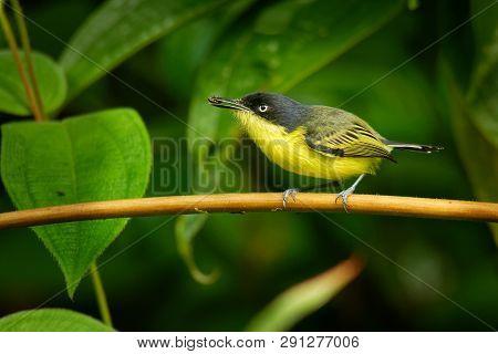 Common Tody-flycatcher - Todirostrum Cinereum  Very Small Passerine Bird In The Tyrant Flycatcher Fa