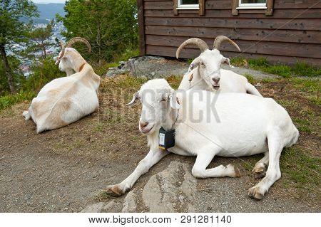 Three Goats On Mount Floyen In Bergen, Norway