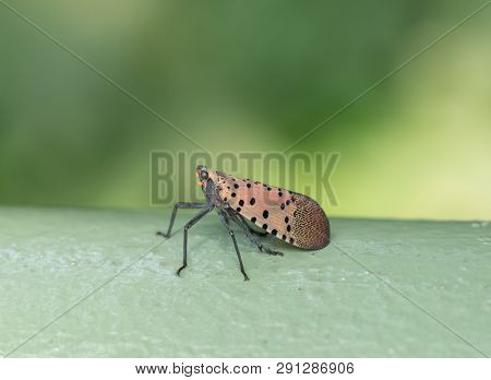 Close-up Of Spotted Lanternfly Lands On Fence Rail, Berks County, Pennsylvania.