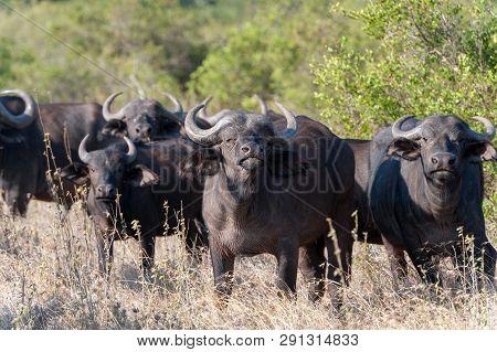 Wild African Heard Buffalo Bull. Africa, Kenya