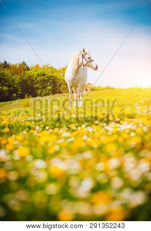 Fantastic view of floral pasture with Arabian horse on a sunny day. Location Carpathian mountain, Ukraine, Europe. Scenic image of farmland. Great picture of wild area. Discover the beauty of earth.