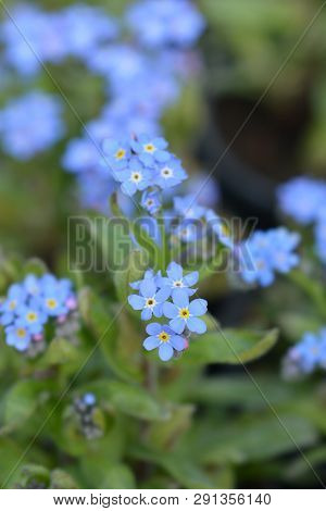 Blue Woodland forget-me-not - Latin name - Mysotis sylvatica poster