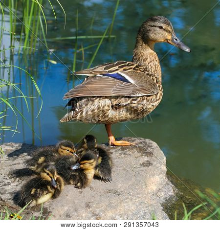 Female Mallard Anas Image Photo Free Trial Bigstock