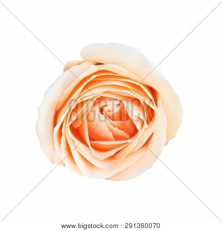 Top View Close Up Photo Image On Orange Rose Flower Isolated On White Background, Beautiful Flowery