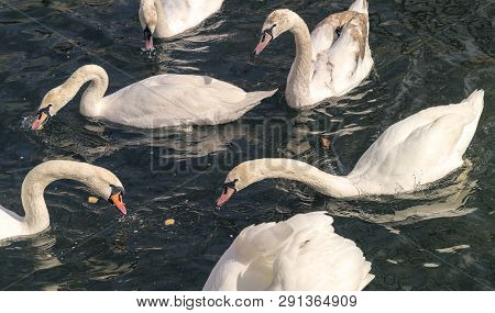 Group Of Swans Is Fed In The Water