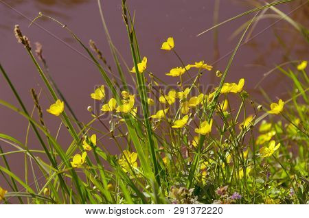 Ranunculus Acris - Meadow Buttercup - Tall Buttercup - Common Buttercup - Giant Buttercup