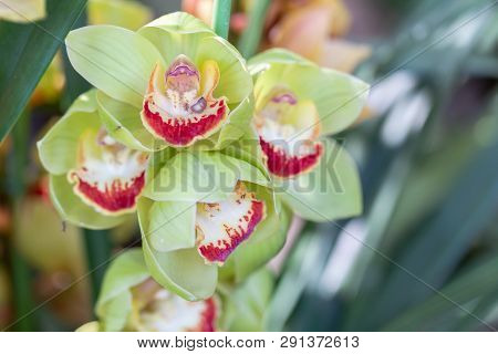 Orchid Flower. Cymbidium Orchid. Flower In Garden At Sunny Summer Or Spring Day. Flower For Postcard