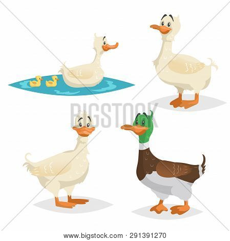 Cute Ducks Set. Standing, Swimming Different Poses Farm And Wild Birds Collection. Adult Ducks Femal