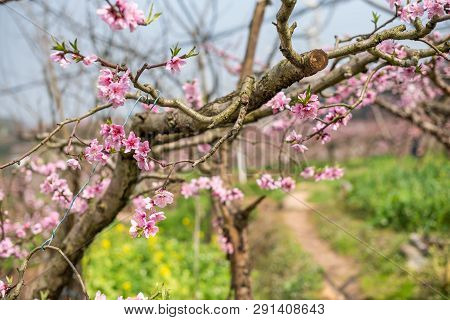 Peach Blossom Tree Close-up In Spring In Longquanyi Mountains, Chengdu, China