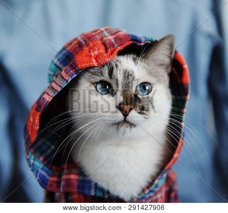 White Fluffy Blue-eyed Cat Dressed In Checkered Shirt With A Hood. Close Portrait On Denim Backgroun
