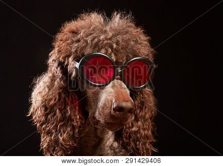 Studio Portrait Of Standard Poodle In Bright Color Summer Eyeglasses Posing In Front Of The Black Ba