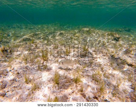 Sea bream, gilt-head or orata underwater among the reef and sea grass poster