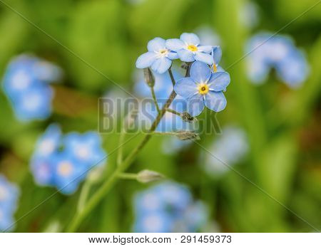 Water Forget-me-not Myosotis Scorpioides Myosotis Palustris Myosotis Flower Tender Flowers Blossomin