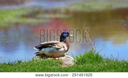 Beautiful Mallard duck by the lake